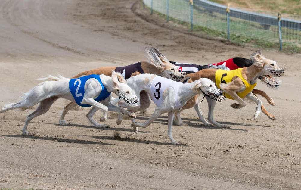 greyhound betting odds